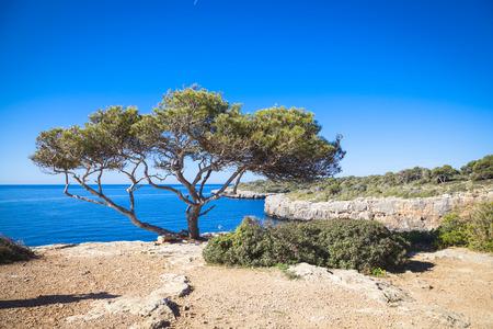 pi: Old tree in Cala Pi, Mallorca