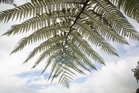 silver fern: Leafs of Ferns New Zealand Stock Photo