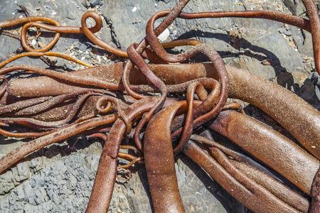alga marina: Algas en la orilla en Nueva Zelanda