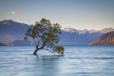 willow: Willow in Lake Wanaka Stock Photo