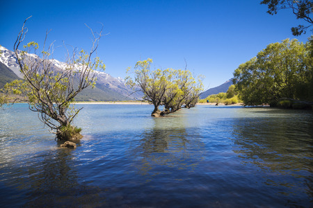 willows: In water standing willows in Glenorchy