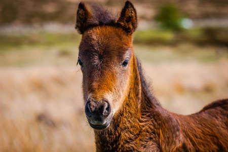 Dartmoor pony foal in the wild, Devon Stock Photo
