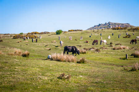 Horses and cattles in the Bodmin Moor in Cornwall, UK Stock Photo