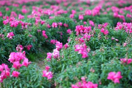 massif de fleurs: Mufliers en parterre