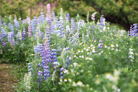 bluebonnet: flower blossom field