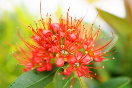 myrtaceae: close up of Red Golden Penda flower, Flowering Red Xanthostemon Chrysanthus In Breathtaking Bloom  Stock Photo