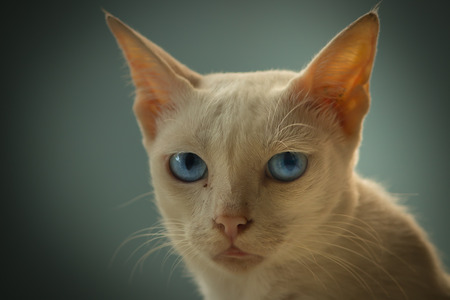 Khao Mane - Diamond (Blue) eyed cat . Commonly found in Thailand. A rare species. So cute with beautiful fur.