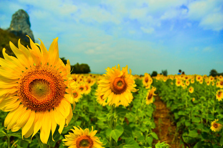 sg: portrait of a sunflower in the field.