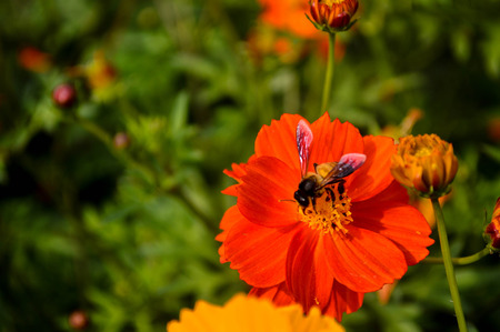 successively: Busy Bumble Bee collecting pollen from yellow and orange .