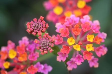 Close up of beautiful colorful tiny little flowers of a garden park Banco de Imagens - 38864265