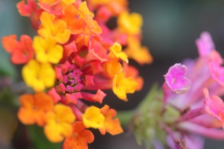 close up of beautiful colorful tiny little flowers of a garden park