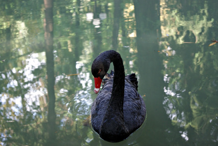 One black swan closeup sailing in dark water with reflections of trees