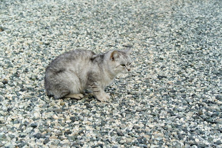 One beautiful gray cat with green eyes sits unnoticed on a gray gravel cover