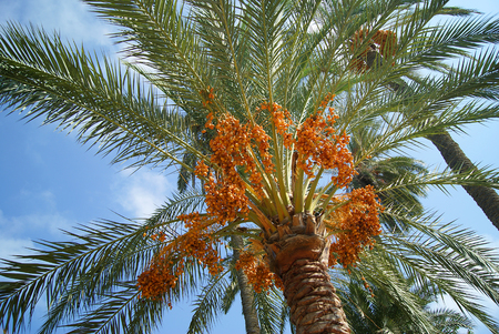 Grapes of ripe dates on the top of the date palm. View from the surface of the earth. Standard-Bild