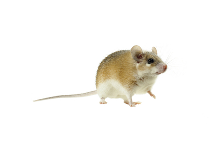 Light yellow spiny mouse with white belly on a white background looking past the frame, lifting one paw