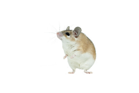Light yellow spiny mouse with white belly isolated stands on its hind legs