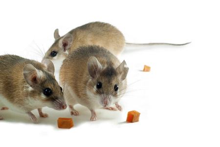 Three light yellow spiny mouses with white belly on a white background with pieces of fruit or vegetables Stok Fotoğraf
