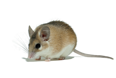 light yellow spiny mouse with white belly on a white background sits sideways to the viewer Stok Fotoğraf