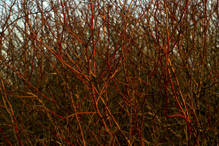 background: a continuous interlacing of reddish bare branches of winter bushes, shot in the sunset rays.