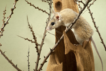 spiny mouse (acomys) climbs over the bizarre stump among the twigs