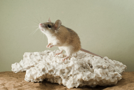 The spiny mouse reaches for the light source, sitting on a large piece of weathered gypsum in the terrarium Stock Photo