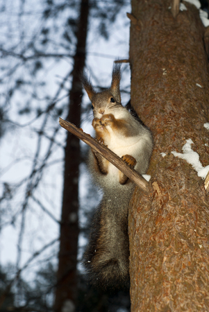 Eurasian red squirrel in grey winter coat with ear-tufts eating some nut sitting on a branch on a background of evening tree crowns in a winter forest Stock Photo
