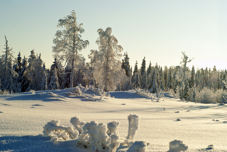 Snow-covered clearing in a coniferous forest, with frost-bitten trees and grass in the foreground covered with a thick layer of ice crystals, on a clear frosty day, illuminated by the rays of the sun standing low above the horizon