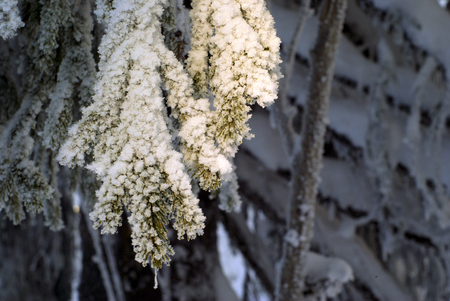 sun-lighted ends of fir branches, covered with snow and frost, on a blurred background of branches of the same tree being in the shade   Stock Photo