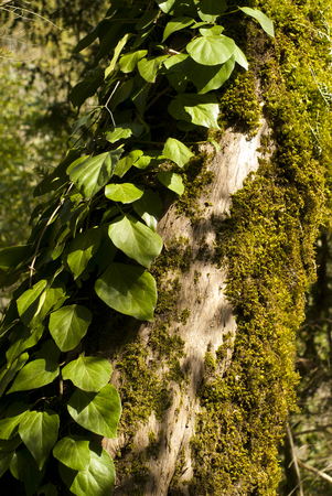 old dry mossy tree trunk, twined with ivy, closeup Stock Photo