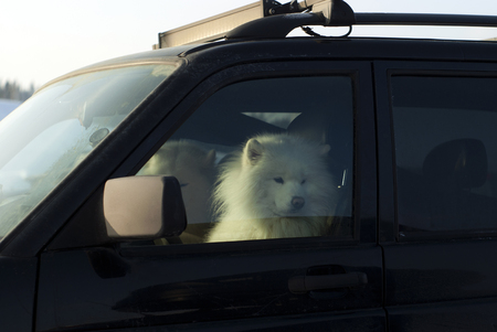 two furry white Alaskan malamuts sits and warms in the driver's seat of the car