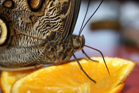 head of butterfly Caligo memnon (giant owl or pale owl) sitting on a slice of orange, closeup
