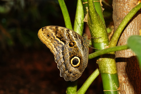 butterfly Caligo memnon (giant owl or pale owl) on a stalk of a tropical plant on a dark background