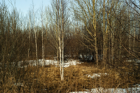 Grove without foliage in early spring with spots of melting snow on dry grass