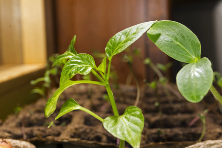 Seedling with two leaves and juvenile paprika in a peat pots on a window sill closeup against the background of blurred other seedlings