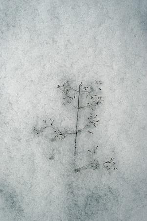 background - dry spikelet of bluegrass, frozen in snow