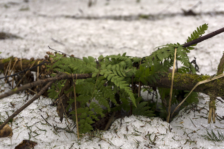 young fern appeared from under the snow in the forest in early spring Фото со стока