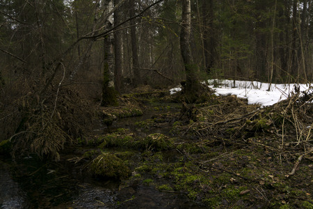 swampy thickets of mixed coniferous forests of the boreal climate during the melting of snow in early spring