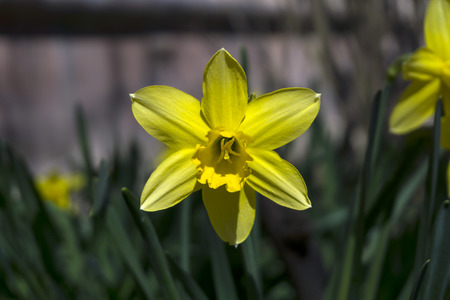 bright yellow spring daffodil flower on a flower bed closeup on a blurred background