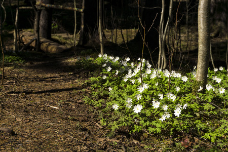 group of white flowers of the primrose Anemone uralensis in the spring forest near the forest path