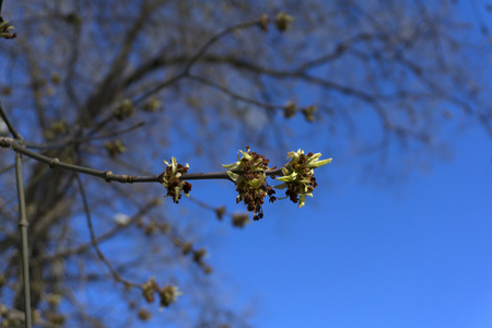 just bloomed leaves and pollen buds of maple on a blurred sky background