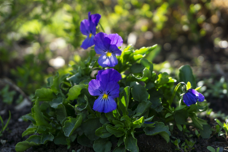 young flowers of pansies among the bushes on the flowerbed in the spring closeup