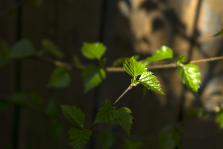 fresh leaves of a young birch on a background of an old wooden board fence