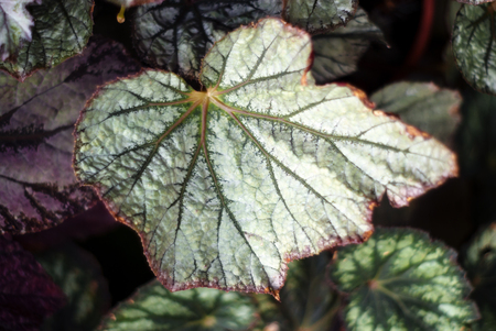 floral tropical background with patterned colorful leaves of heuchera, also named alumroot of coral bells Stok Fotoğraf