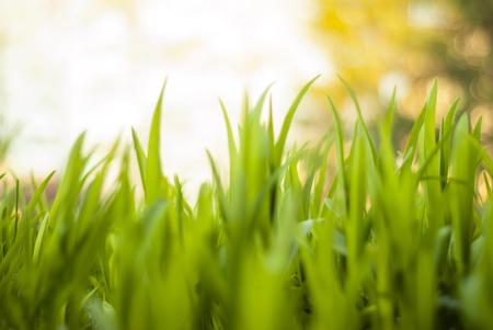 tops of young spring grass in bright sunlight closeup, slightly blurred