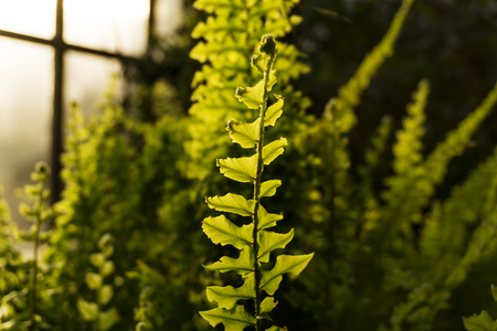leaf fern in evening light on a blurred background of a greenhouse interior