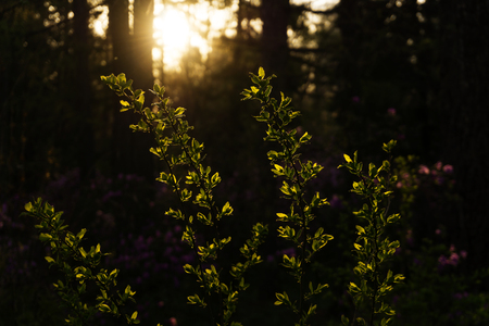 young green leaves on the branches of the bush, brightly lit by the setting sun in a shady forest, with a flowering rhododendron in the shade in the background