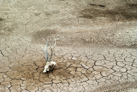 Gray dry dead cracked desert soil with animal skull in the foreground