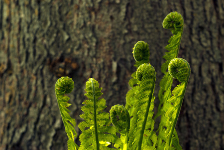 Bright branched spirals of leaves of fern sprouts seem to dance against the background of a fuzzy tree trunk Banco de Imagens