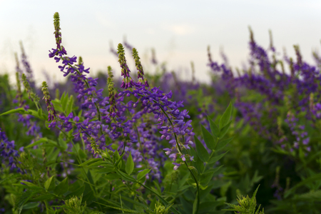 soft background with purple meadow flowers of alfalfa