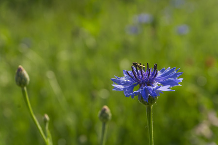 blue flower of a cornflower with a fly on it in the field after a rain on a green blurred background